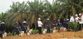 Peremajaan Sawit Indonesia Dimulai dari Muba