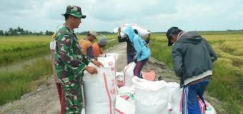 Babinsa Koramil 401-08/Talang Kelapa Turun ke Sawah Dukung Program Ketahanan Pangan