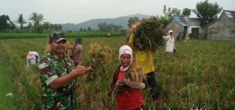 Babinsa Koramil 401-06/Sungsang Dampingi Petani Panen Padi